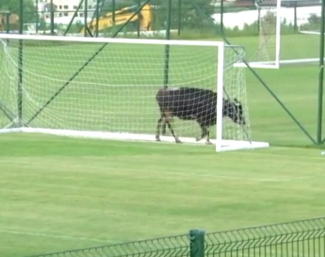 Собаки, корова и слон – появление животных на футбольном поле 5