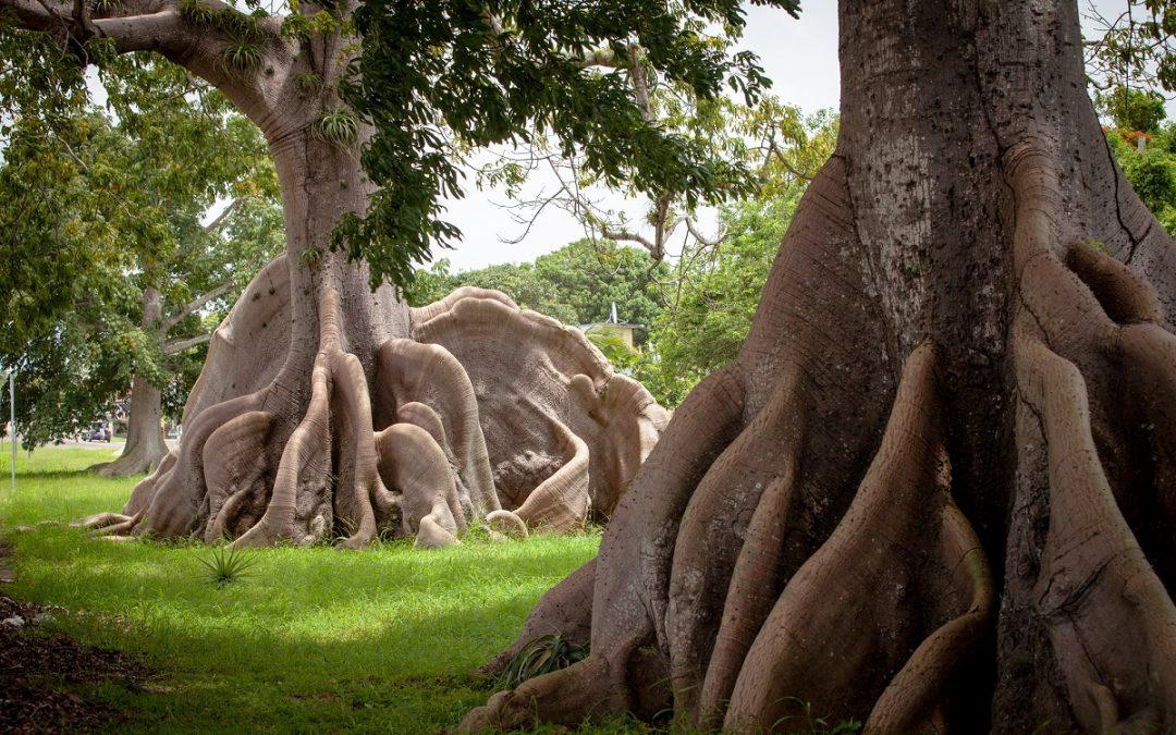 деревья южной америки фото конструктивные решения