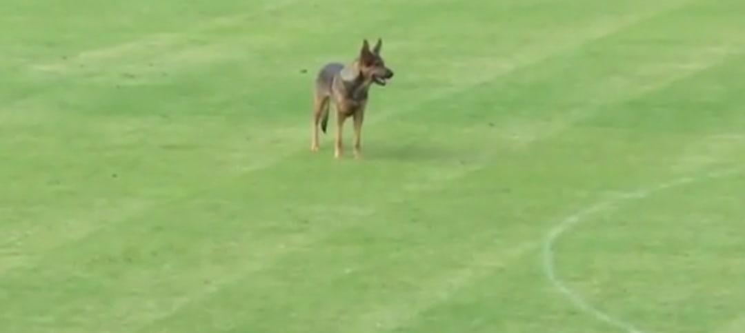 Собаки, корова и слон – появление животных на футбольном поле 6