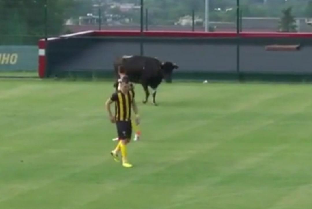 Собаки, корова и слон – появление животных на футбольном поле 4